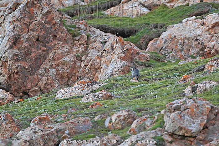 Pallas's cat (Otocolobus manul) Sanjiangyuan National Nature Reserve, Qinghai Hoh Xil UNESCO World Heritage Site, Qinghai-Tibet Plateau, Qinghai Province, China. Small repro only.