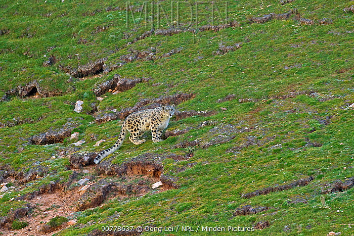Snow leopard (Panthera uncia) Sanjiangyuan National Nature Reserve, Qinghai Hoh Xil UNESCO World Heritage Site, Qinghai-Tibet Plateau, Qinghai Province, China.