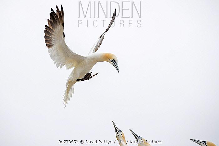 Gannet (Morus bassanus) landing in the colony, Great Saltee, Saltee Islands, County Wexford, Ireland. June