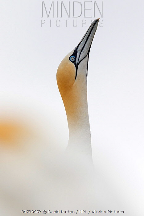 Gannet (Morus bassanus) portrait typical posture before taking off from the colony.  Great Saltee, Saltee Islands, County Wexford, Ireland. June
