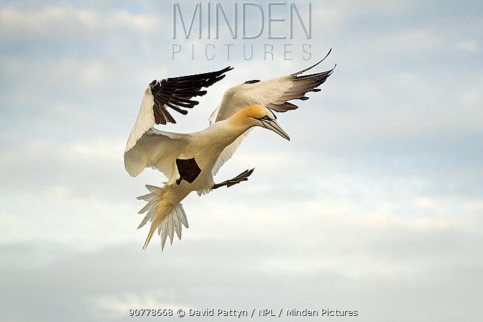 Gannet (Morus bassanus) landing in the colony Great Saltee, Saltee Islands, County Wexford, Ireland. June