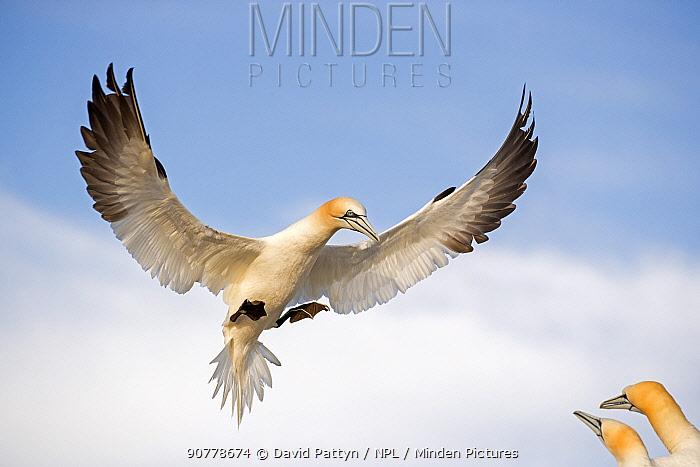 Gannet (Morus bassanus) breaking to land in the colony Great Saltee, Saltee Islands, County Wexford, Ireland. June