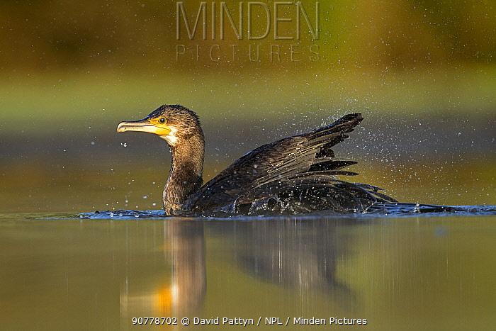 Cormorant (Phalacrocorax carbo) bathing in a pond Valkenhorst nature reserve, Valkenswaard, The Netherlands. July