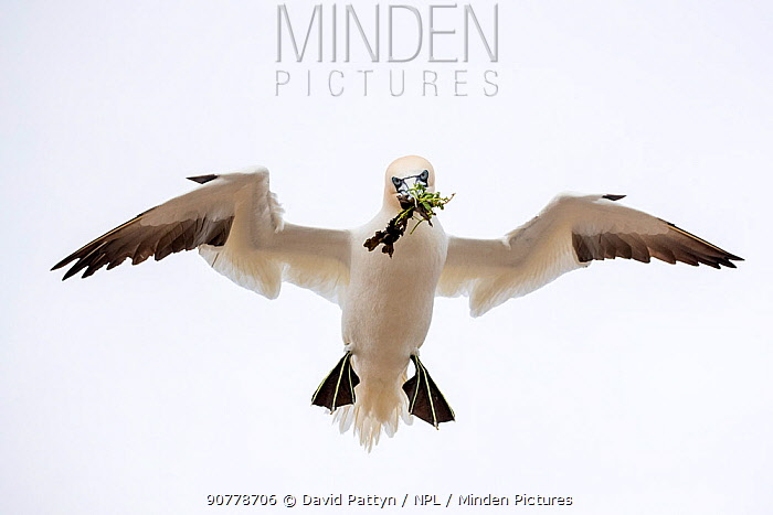 Gannet (Morus bassanus) about to land in colony with nesting material. Great Saltee, Saltee Islands, County Wexford, Ireland. June