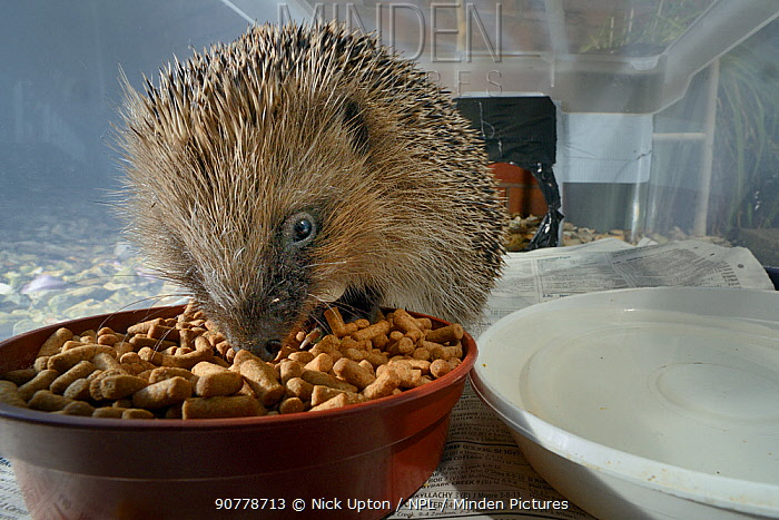 Hedgehog (Erinaceus europaeus) feeding on meat-based hedgehog pellets in a home-made hedgehog feeder box with a narrow entrance designed to exclude cats and foxes, at night, suburban garden, Chippenham, Wiltshire, UK, August. Taken with a remote camera trap.