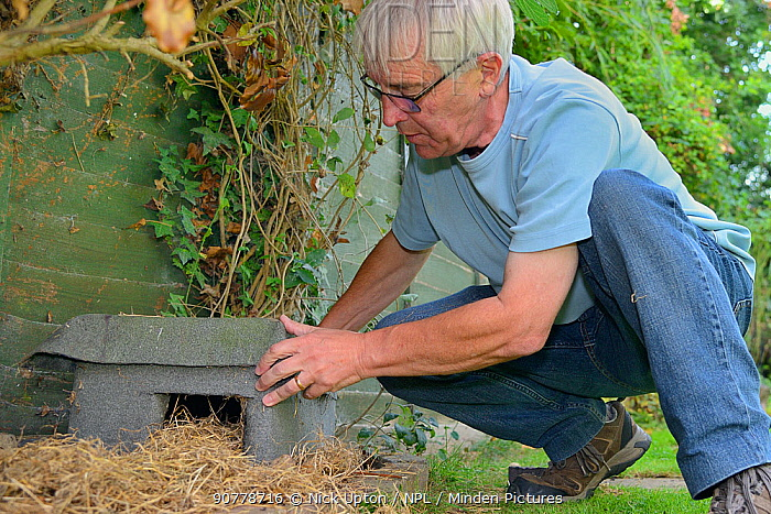 Home-made Hedgehog house positioned in a suburban garden along with straw bedding by home-owner, Chippenham, Wiltshire, UK, August.  Model released.