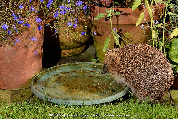 Hedgehog (Erinaceus europaeus) drinking from water bowl left out on a patio for hedgehogs, at night, Chippenham, Wiltshire, UK, August.  Taken with a remote camera trap. Property released.