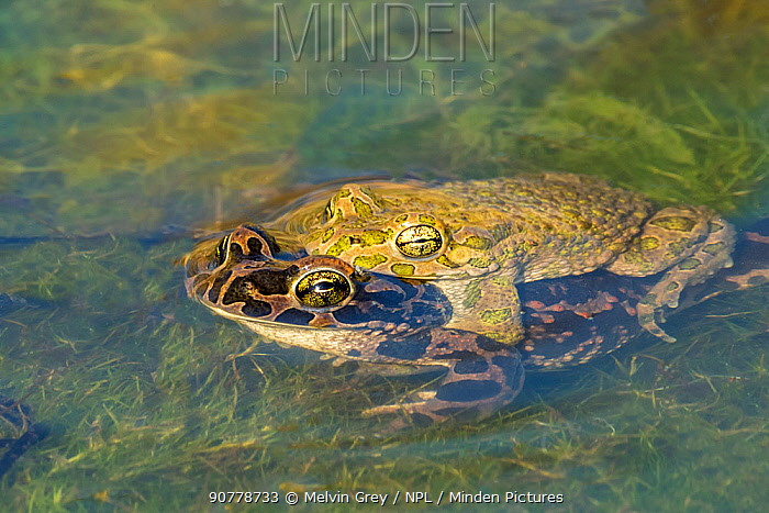 Green toad (Bufotes viridis) pair in amplexus, Varna Wetlands,  Bulgaria. April.