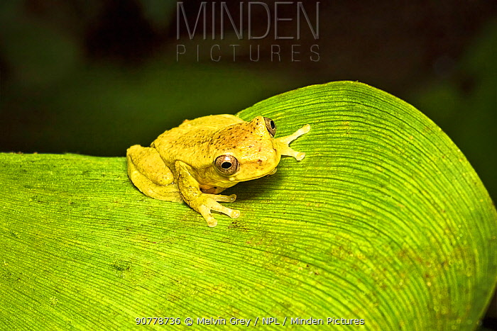 Executioner clown frog (Dendropsophus carnifex) adult female, Mindo, Ecuador. June.