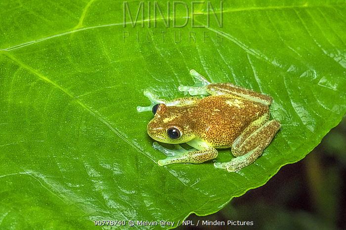 Babbling torenteer frog (Hyloscirtus alytolylax) adult on leaf, Mindo,  Ecuador. June.