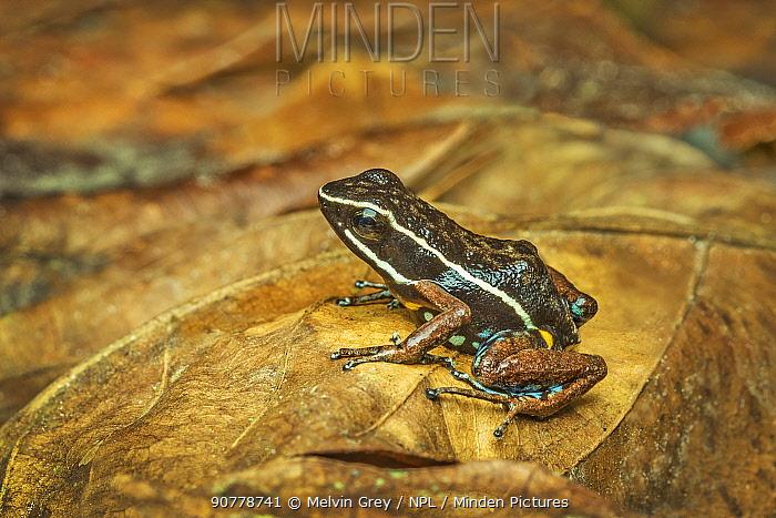 Poison dart frog (Ameerega hahneli) on rainforest floor, Amazon Basin, Ecuador. June.