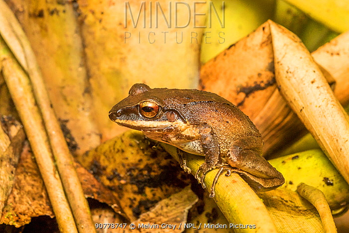 Cachabi robber frog (Pristimantis achatinus) adult on leaf, Mindo, Ecuador. June.