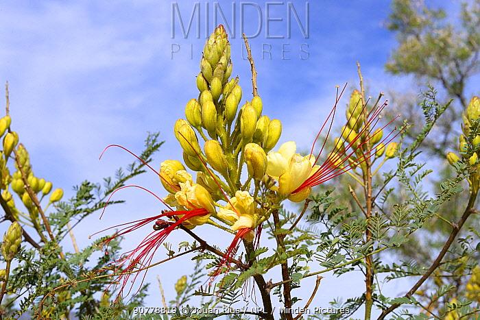 Bird of Paradise Bush (Erythrostemon gilliesii) flower, Arizona, USA, April.