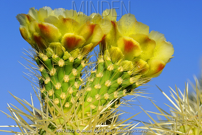 Teddy Bear cholla cactus (Opuntia bigelovii)  flowers, Lost Dutchman State Park, Arizona, USA. April.