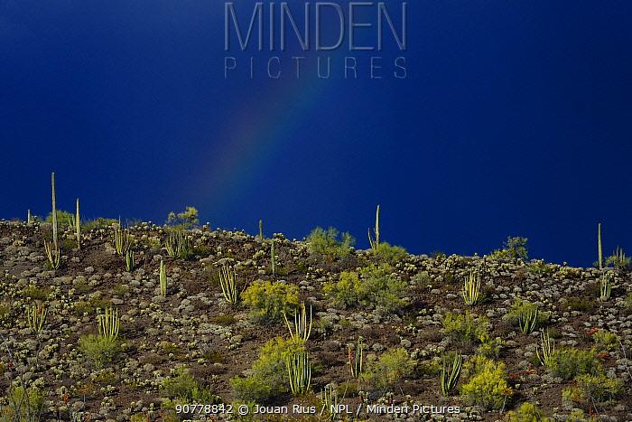 Rainbow over Saguaro cacti (Carnegiea gigantea), Organ Pipe Cactus (Stenocereus thurberi) and Foothills Palo Verde tree (Cercidium microphyllum), Organ Pipe Cactus National Monument, Sonoran Desert, Arizona, USA, April.