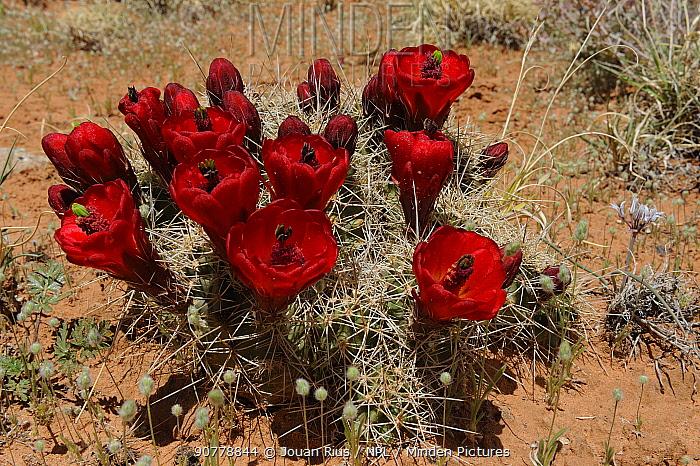 Claret Cup Cactus in flower (Echinocereus triglochidiatus), Capitol Reef National Park, Utah, USA, April.