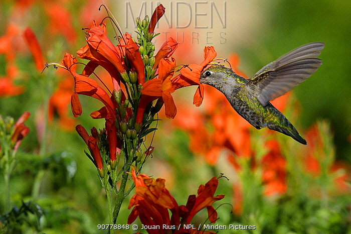 Ruby-throated hummingbird (Archilochus colubris) female in flight feeding, California, USA, May.