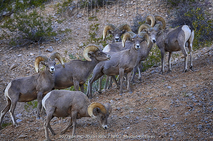 Desert Bighorn sheep (Ovis canadensis) flock, Valley of Fire State Park, Nevada, USA, May.