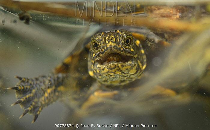 Pond turtle  (Emys orbicularis) feeding on water snail (Limnea sp. ?+ Camargue, France. June.