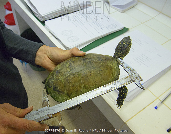 Scientist measuring Pond turtle (Emys orbicularis)  Tour du Valat, Camargue, France, May.