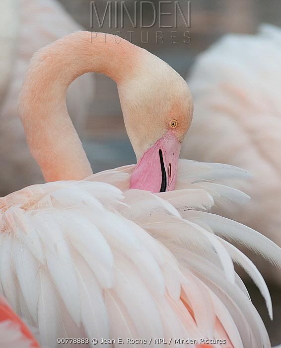 Greater flamingo (Phoenicopterus ruber) preening, Camargue, France.