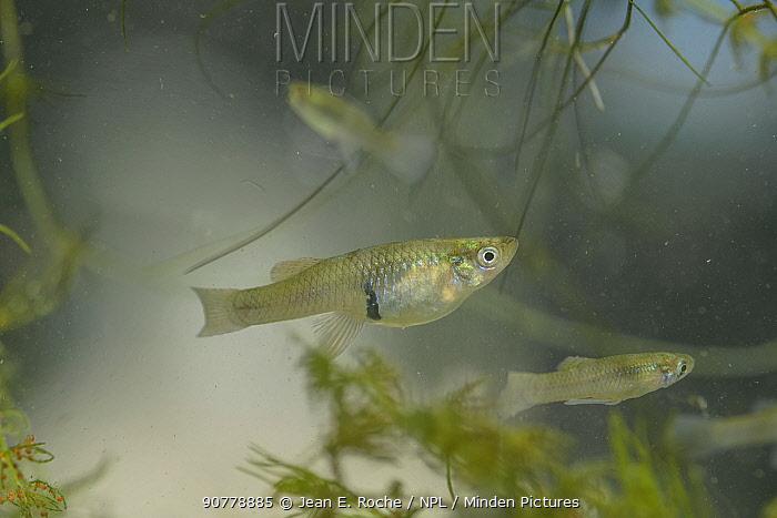 Mosquitofish (Gambusia affinis) female, introduced species to control mosquitos, Camargue, France, June. Biological pest control.