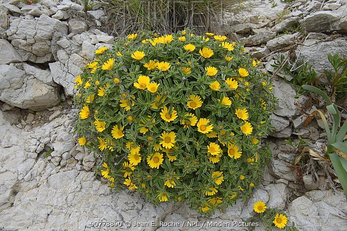 Flowers (Pallenis maritima) Pomegues Island, Frioul Archipelago, France. June.