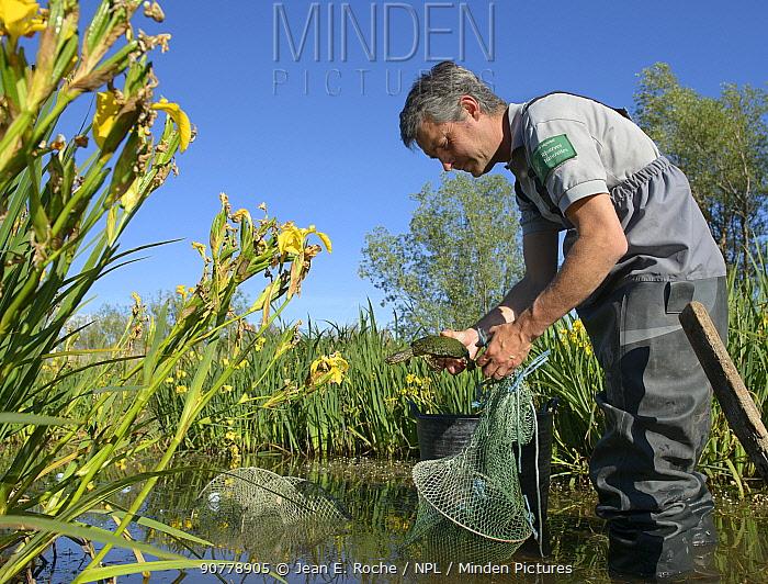 Scientist holding European pond turtle (Emys orbicularis) during population survey, Camargue, France, May.