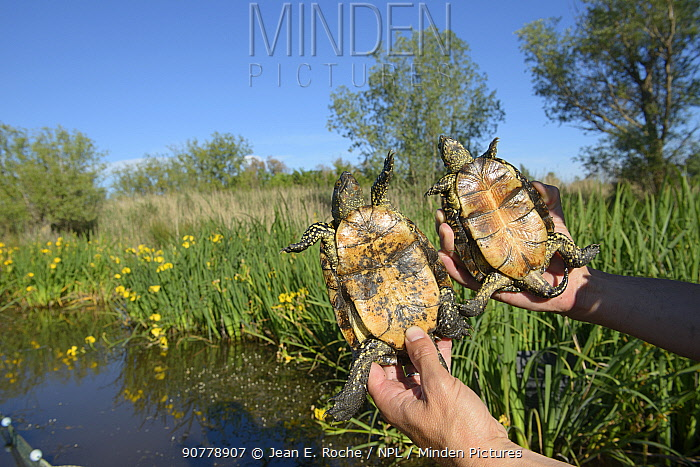 Scientist holding  two European pond turtles (Emys orbicularis) during survey of local population.  Camargue, France. May.