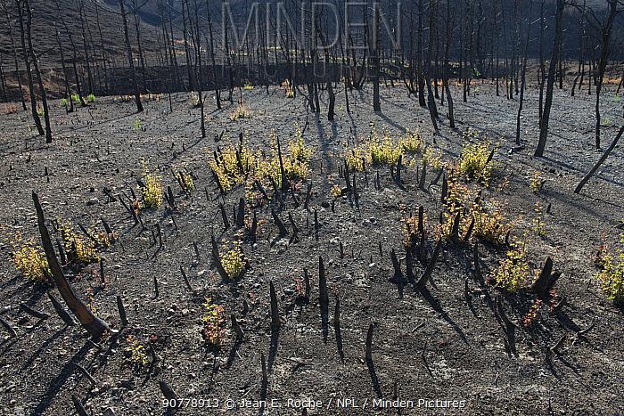 Holm oak (Quercus ilex) saplings growing after fire, Etang de Berre, Provence, France.