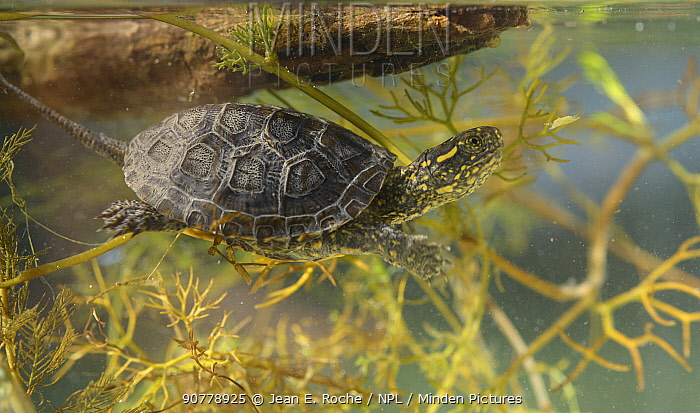 European pond turtle (Emys orbicularis)  juvenile breathing at the surface, Camargue, France.