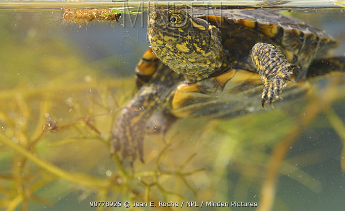 European pond turtle (Emys orbicularis) looking at caterpillar which has fallen in the water, Camargue, France.