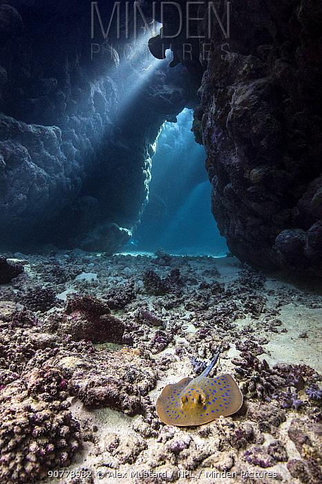 Blue spotted stingray (Taeniura lymma) inside a coral cavern, with beams of sun light. Umm Karaheem, St Johns Reef, Egypt. Red Sea