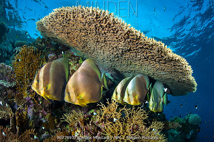 Group  of Circular spadefish (Platax orbicularis) gather at a cleaning station beneath a table coral (Acropora sp.) on a coral reef. Shark Reef, Ras Mohammed, Sinai, Egypt. Red Sea.