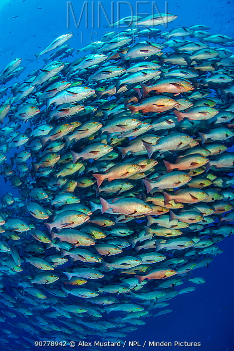 School of Bohar snapper (Lutjanus bohar) in open water close to a coral reef. These fish are usually solitary and aggregate each summer in the Red Sea to spawn. Shark Reef, Ras Mohammed, Sinai, Egypt. Red Sea.