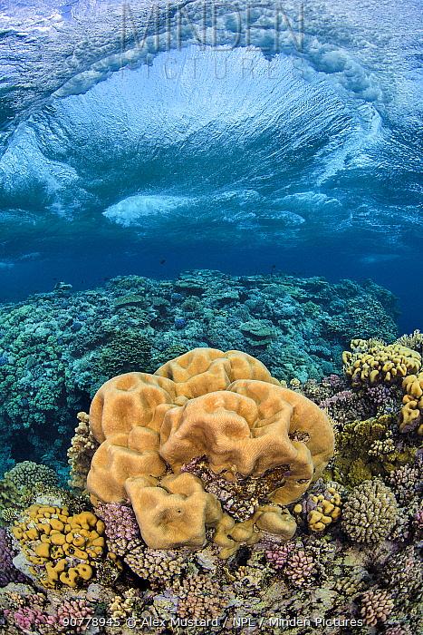 Brain coral (Platygyra daedalea) beneath a breaking storm wave, on a coral reef. Sha'ab Claudia, Fury Shoal, Egypt. Red Sea