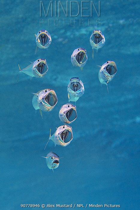 Striped mackerel (Rastrelliger kanagurta) with mouths wide open as they swim through the water, filtering zoopankton with their gill rakers. Marsa Shouna, Port Ghalib, Marsa Alam, Egypt. Red Sea