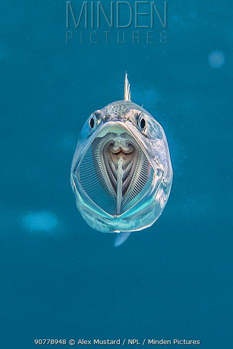 Striped mackerel (Rastrelliger kanagurta)  mouth wide open as it swims through the water, filtering zoopankton with its gill rakers. Marsa Shouna, Port Ghalib, Marsa Alam, Egypt. Red Sea