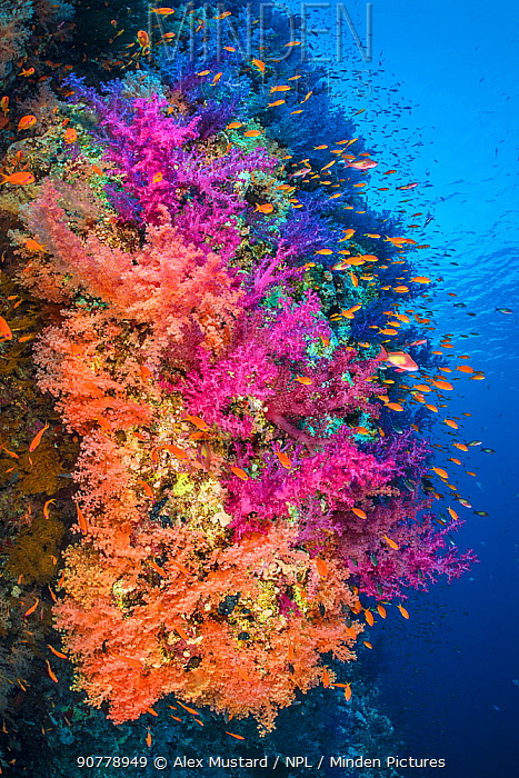 Colourful coral reef wall, with orange Scalefin anthias (Pseudanthias squamipinnis) swarming over pink and orange soft corals (Dendronephthya hemprichi)and( Dendronephthya klunzingeri) in a current. Shark Reef, Ras Mohammed National Park, Sinai, Egypt. Red Sea