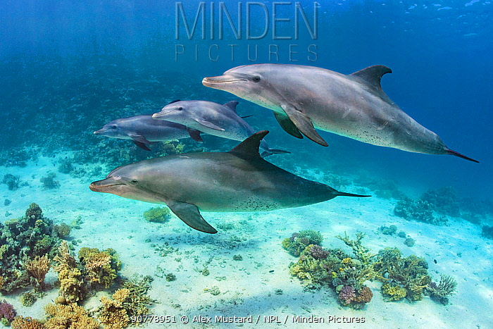 Pod of Indian Ocean bottlenose dolphin (Tursiops adunctus) swim over a coral reef. Sha'ab El Erg, Hurghada, Egypt. Red Sea.