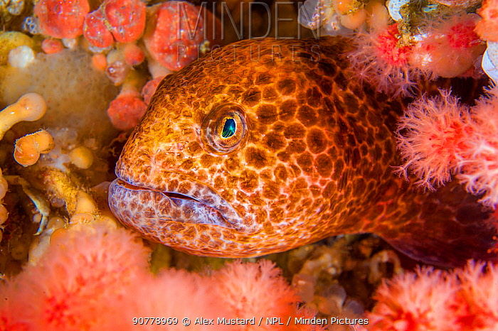 Colourful juvenile Wolf eel ( Anarrhuchthys ocellatus) hides amongst soft corals. Browning Pass, Port Hardy, Vancouver Island, British Columbia, Canada. Queen Charlotte Strait, North East Pacific Ocean