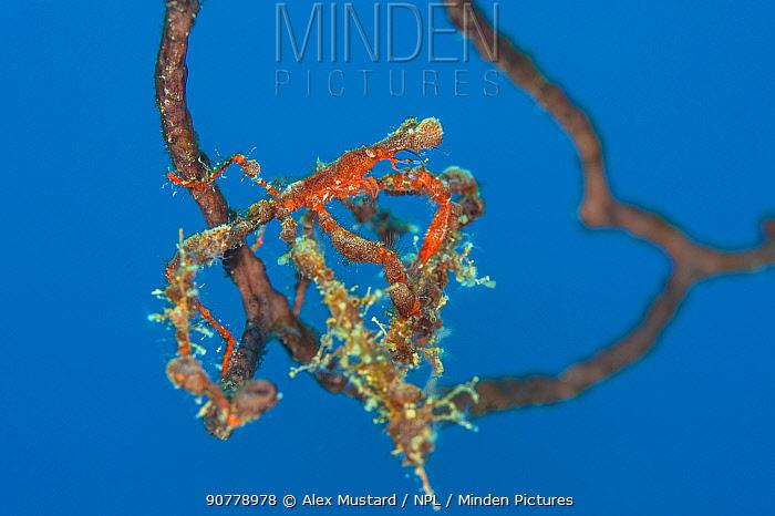 Neck crab (Podochela sp.) lives cryptically on a deepwater sea fan (Iciligorgia nodulifera). East End, Grand Cayman, Cayman Islands, British West Indies. Caribbean Sea.