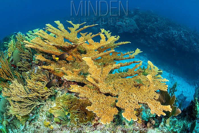 Colony of Elkhorn coral (Acropora palmata) growing on a coral reef and making a home for Yellowtailed damselfish (Microspathodon chrysurus). The growth in this photo represents 12 year's growth since Hurrican Ivan in 2004, which levelled the colony.  East End, Grand Cayman, Cayman Islands. British West Indies. Caribbean Sea.