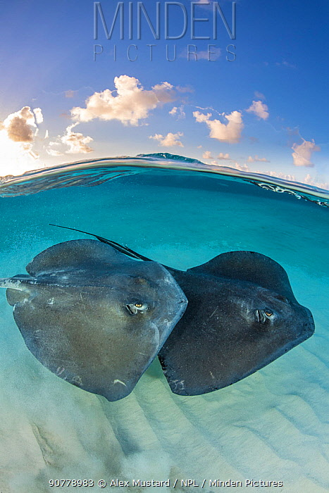 Two large female Southern stingrays (Dasyatis americana) swim over sand in shallow water, split level photo with blue sky and clouds. The Sandbar, Grand Cayman, Cayman Islands. British West Indies. Caribbean Sea.