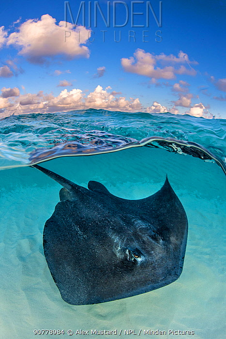 Southern stingray (Dasyatis americana) swimming over sand in shallow water, split level photo with blue sky and clouds. The Sandbar, Grand Cayman, Cayman Islands. British West Indies. Caribbean Sea.