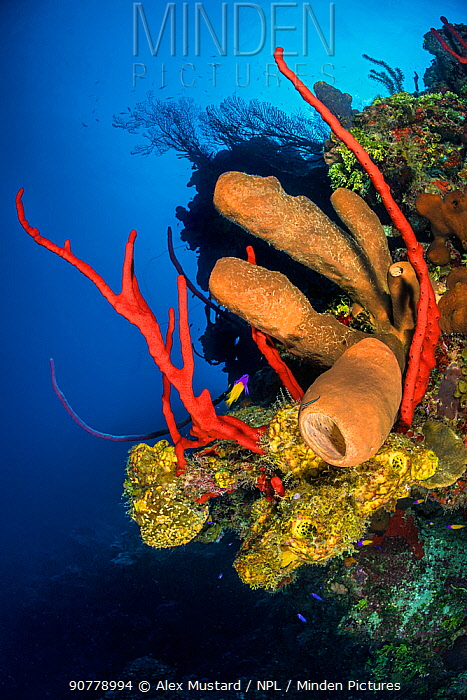 Colourful coral reef wall, with yellow branching tube sponges (Pseudoceratina crassa), brown tube sponges (Agelas conifera) and red rope sponges (Amphimedon compressa), in front of deepwater sea fans (Iciligorgia nodulifera). East End, Grand Cayman, Cayman Islands, British West Indies. Caribbean Sea.