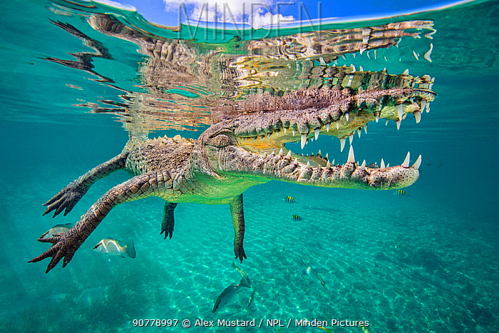American crocodile (Crocodylus acutus) reflected in the surface as it floats, Jardines de la Reina, Gardens of the Queen National Park, Cuba. Caribbean Sea.