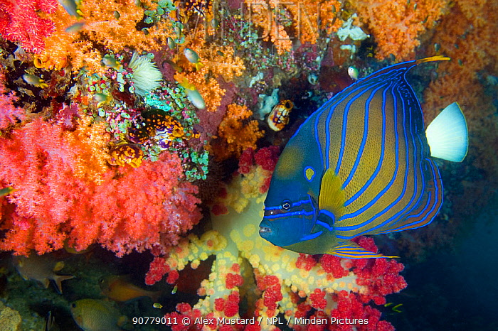 Blue ring angelfish (Pomacanthus annularis) swimming in front of soft corals. Triton Bay, Kaimana, West Papua, Indonesia. Arafur Sea, Tropical West Pacific Ocean.