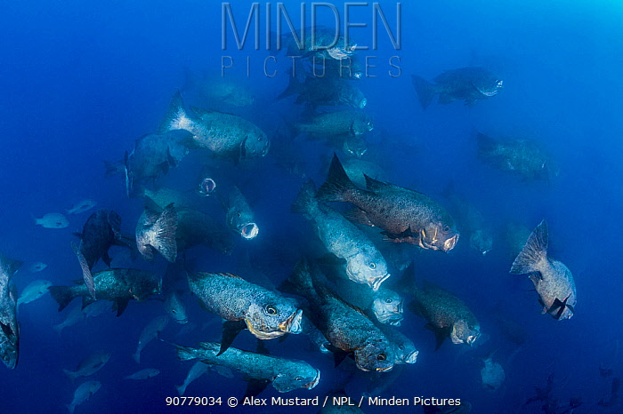 Large group of Midnight snappers (Macolor macularis) race in to feed on eggs spawned by bohar snappers. Ulong, Rock Islands, Palau, Mirconesia. Tropical west Pacific Ocean