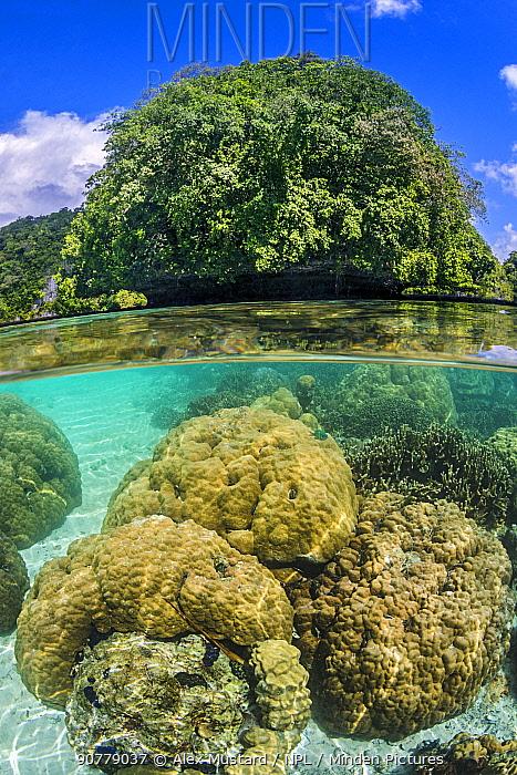 Hard corals (Porites sp. ) grow in shallow water around limestone rock islands. Korror, Palau, Mirconesia. Tropical west Pacific Ocean